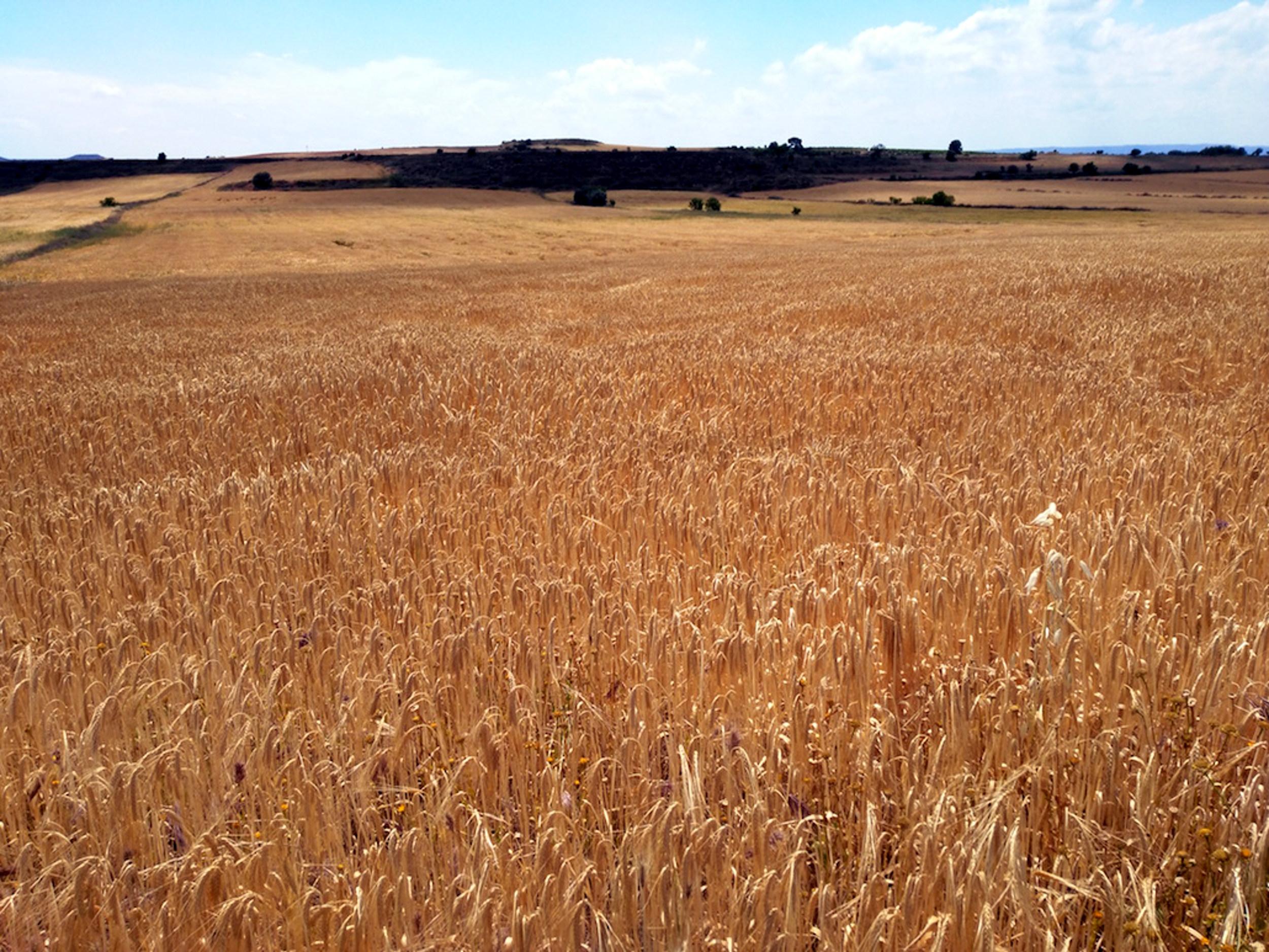 Un camp de cereals dels secans occidentals de Lleida | ACN