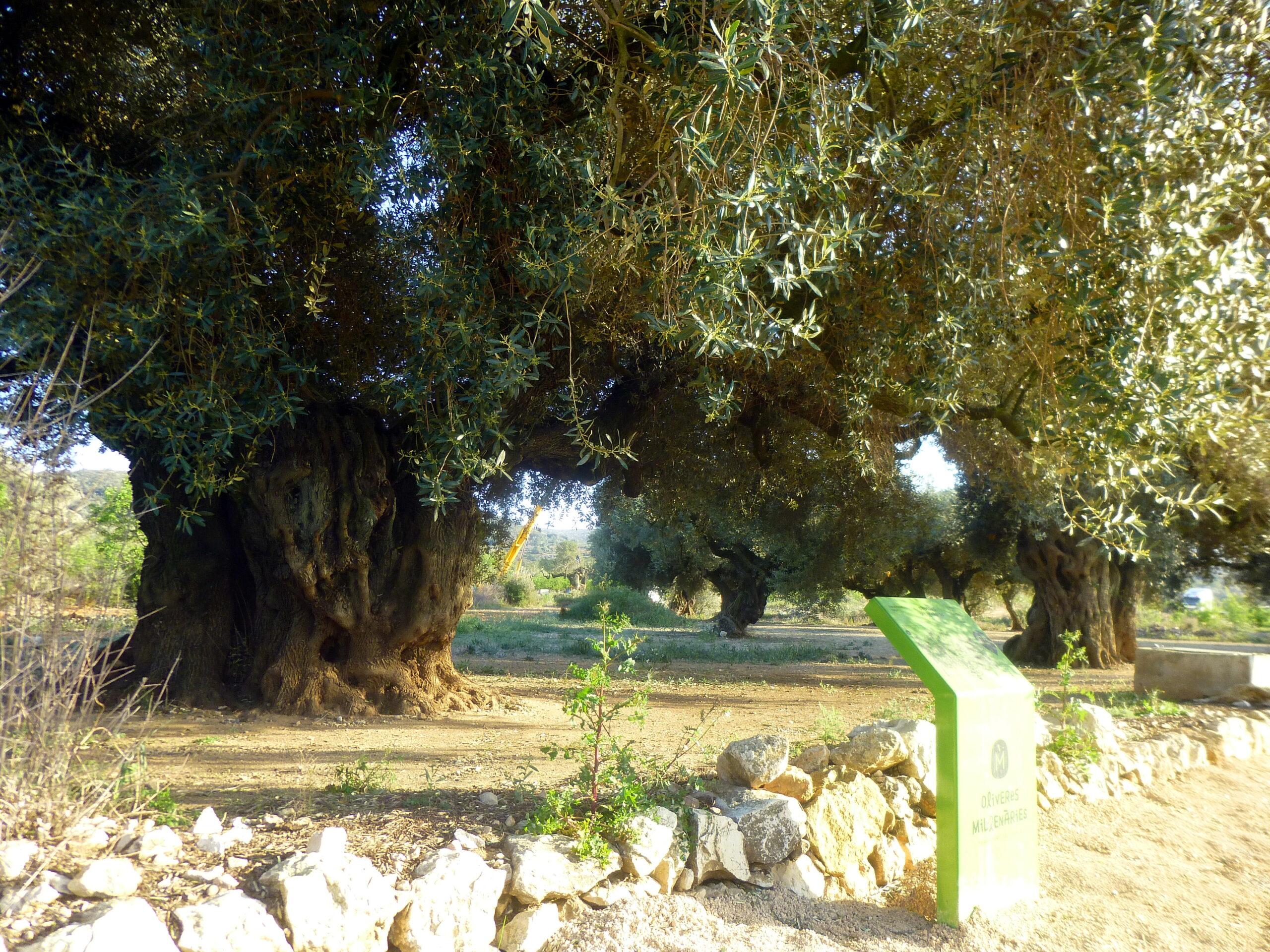 Una olivera mil·lenària | ACN