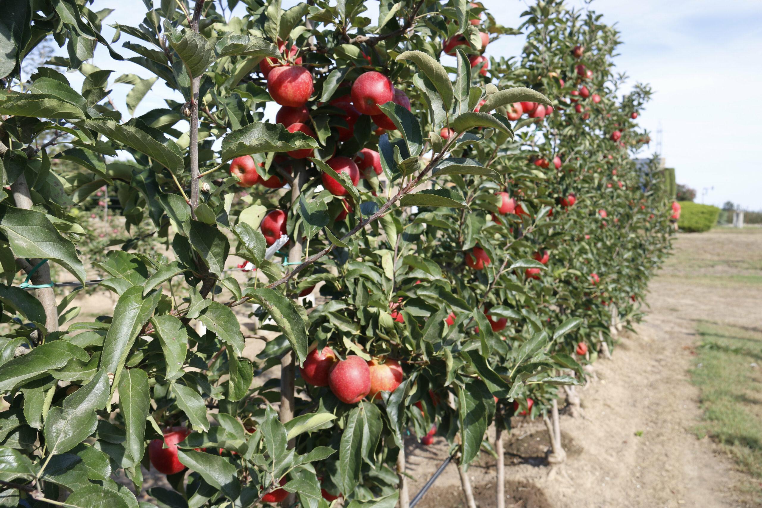 Una de les pomeres a punt per començar la recollida en una de les plantacions de Poma de Girona | ACN