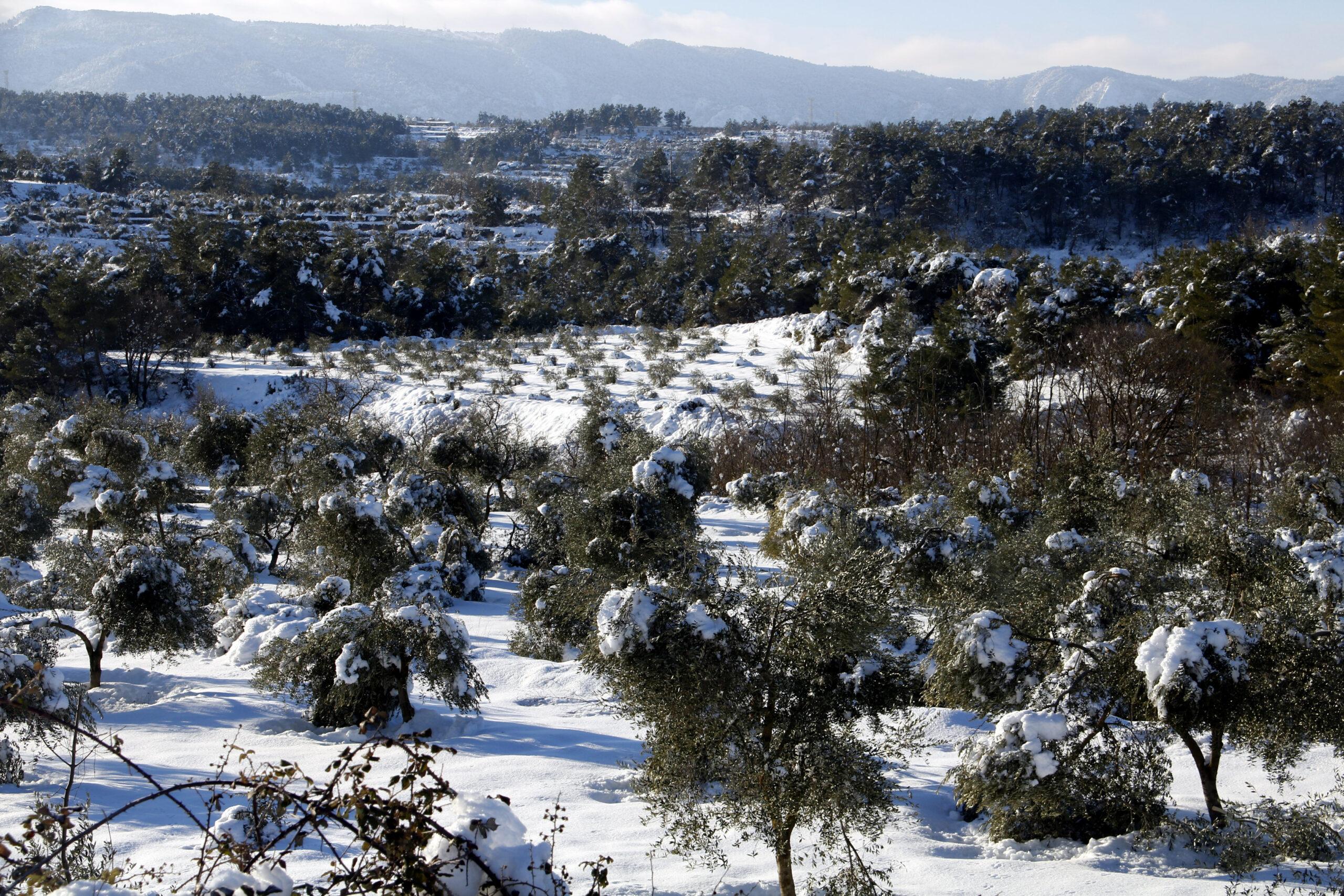 Un camp d'oliveres amb arbres amb rames trencades pel pes de la neu, a Vinaixa | ACN