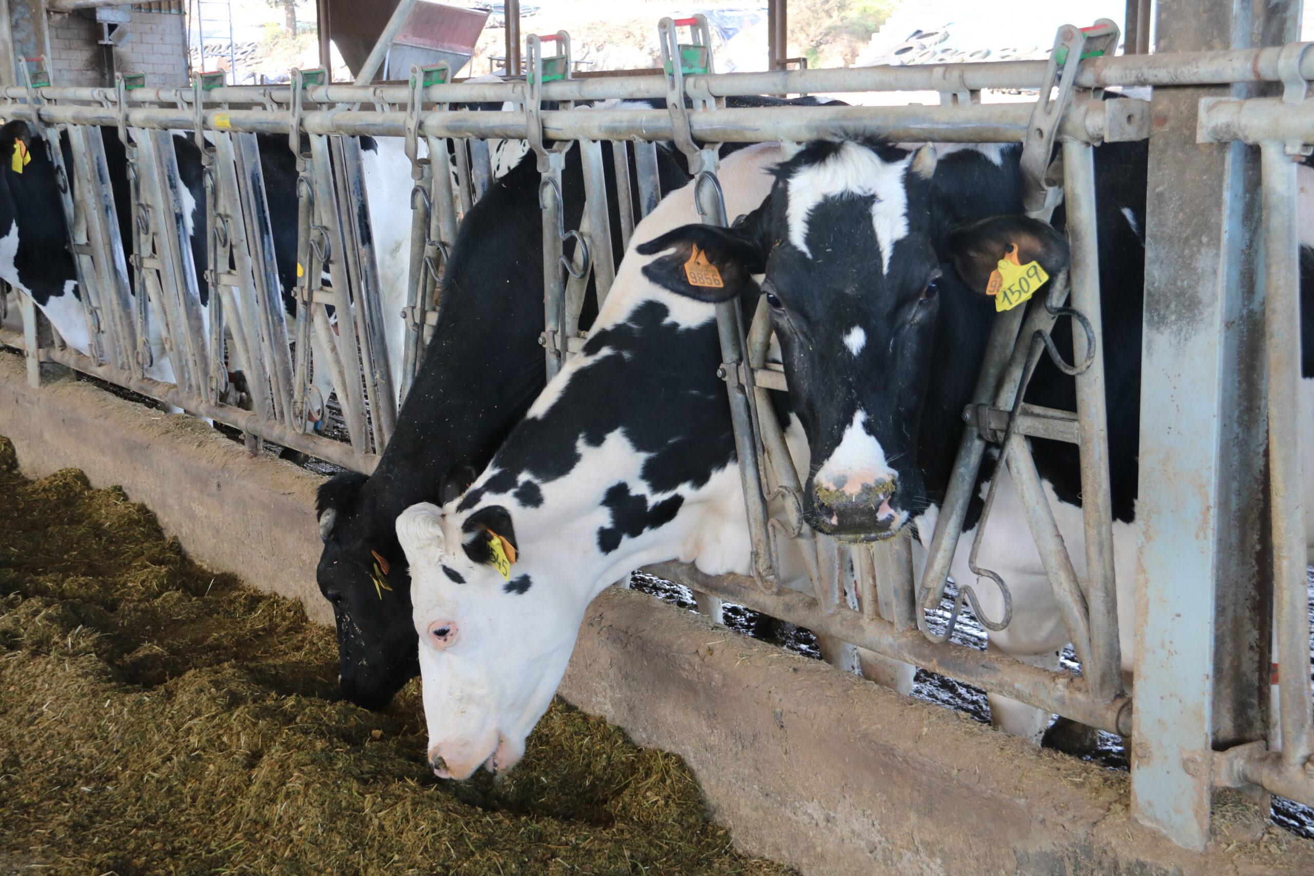 Diverses vaques menjant a la granja Can Pijoan, situada a Santa Cristina d'Aro (Baix Empordà), una de les explotacions ramaderes sòcia de la cooperativa Lletera de Campllong | ACN