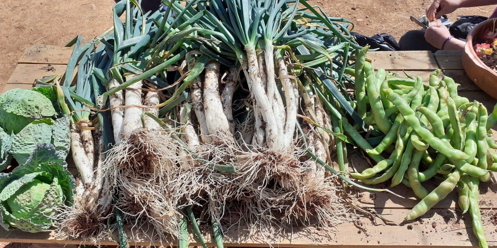 Calçots cultivats en un projecte d'inclusió a Canyelles / Horta amb Gràcia