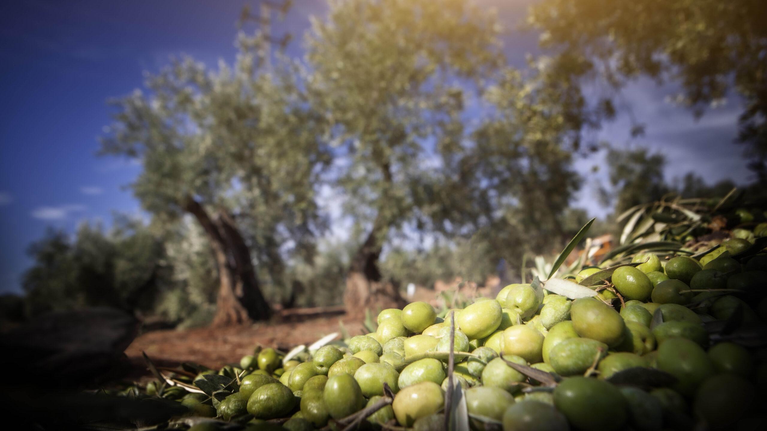 Olives de Casa Juncal   Cedida