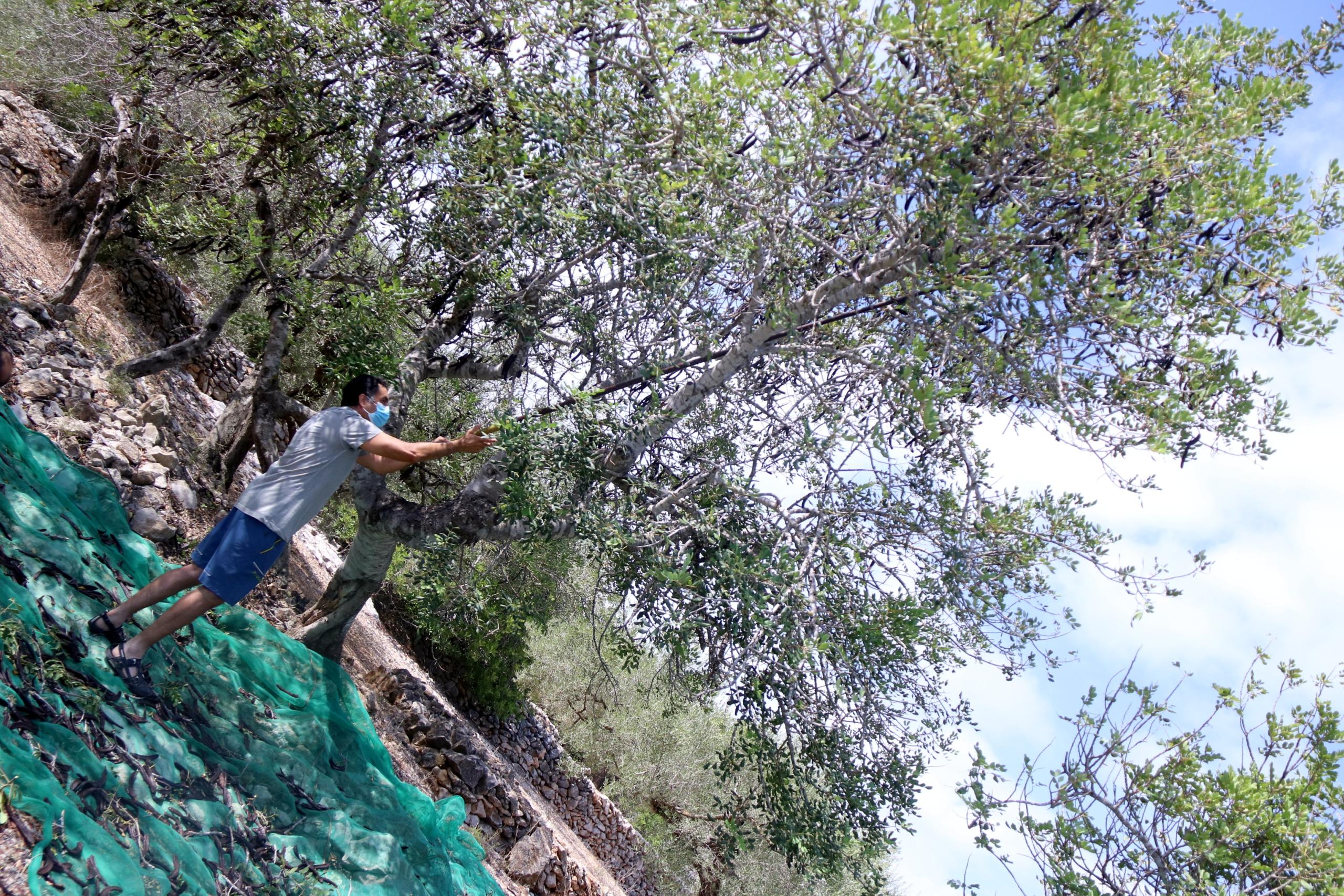 Un pagès fent caure garrofes en una explotació del Perelló | ACN
