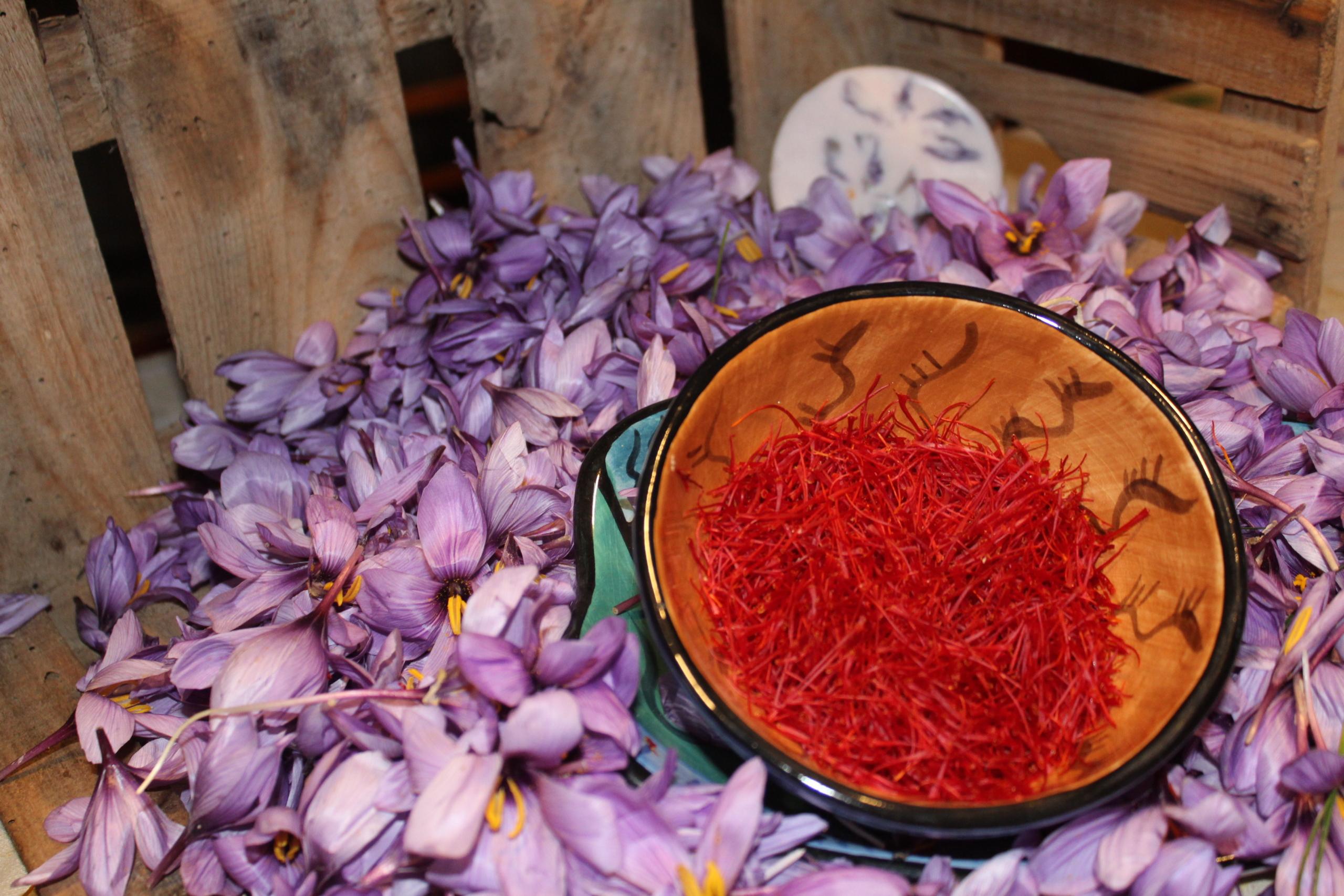 Safrà conreat a Horta de Sant Joan (Terra Alta), ja extret de la flor | ACN