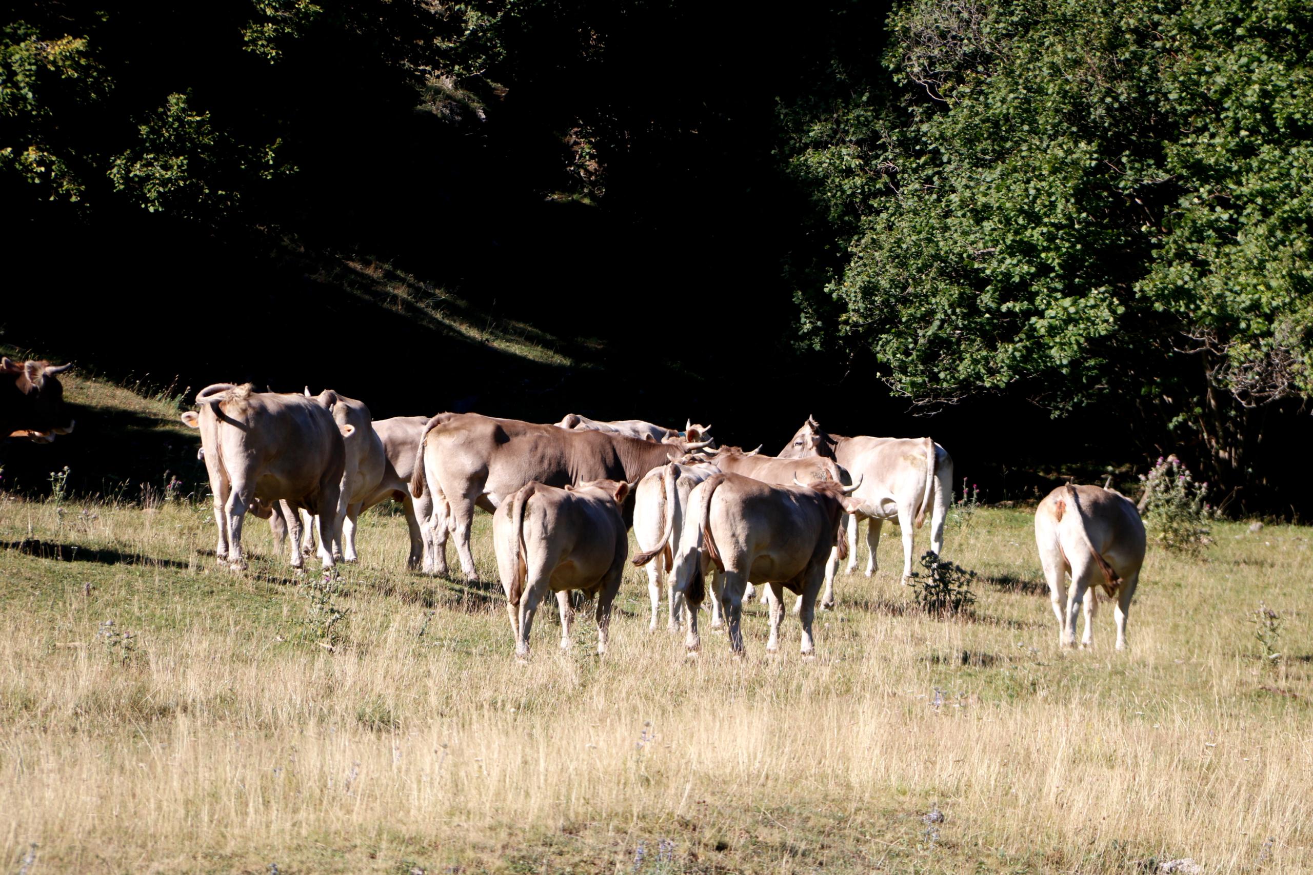 Un ramat de vaques a la Vall de Bonabé, al Pallars Sobirà | ACN