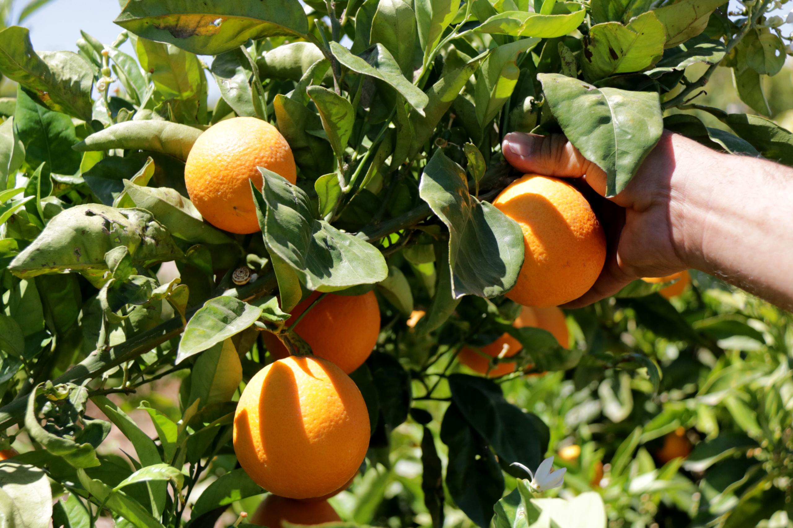 Taronges a l'arbre pendents de collir   ACN