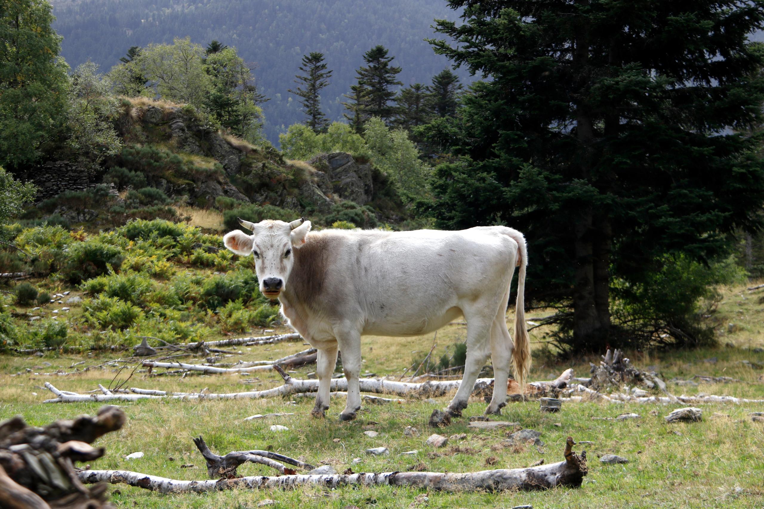 Una vaca de raça pallaresa | ACN